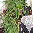 Spider_plant