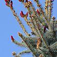 Red_pine_cones