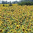 Sunflowerfields2