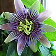 Passion_flower3