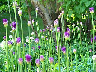 Allium2008