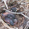 Cat Bird babies
