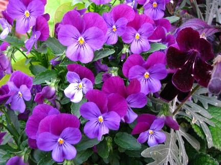 Violas & Streptacarpus