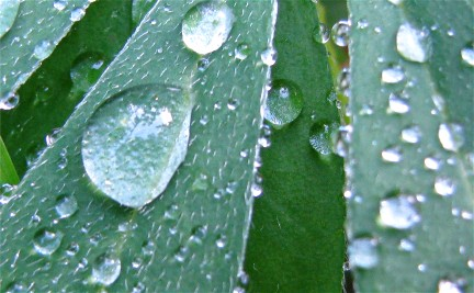 Lupine dewdrops (1129)