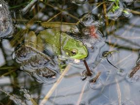 Bullfrog (1166)
