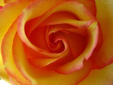 Rose anniversary