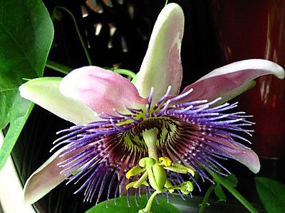 Passion flower IMG_1935