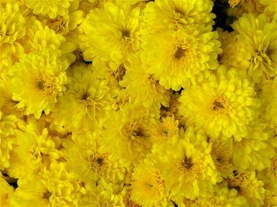 Yellow mum IMG_2071