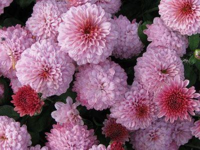 Pink mum IMG_2072