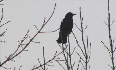 Crow IMG_2379