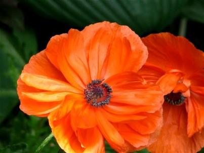 Poppies07