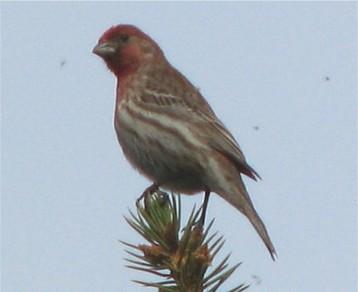 Treetopfinch